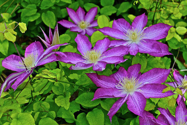 Photograph - 2017 End Of May In The Gardens Asao Clematis by Janis Nussbaum Senungetuk