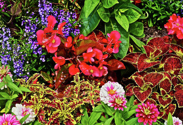 Photograph - 2017 Mid July At The Gardens Begonia And Coleus by Janis Nussbaum Senungetuk
