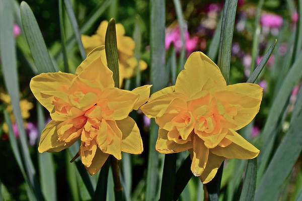 Photograph - 2017 Mid May At The Gardens Double Smiles Daffodils by Janis Nussbaum Senungetuk