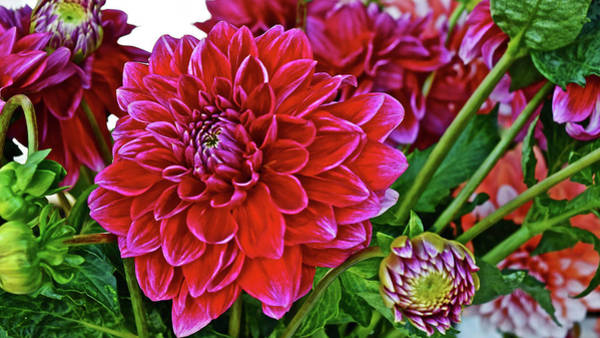 Photograph - 2017 Monona Farmers' Market September Dahlias by Janis Nussbaum Senungetuk