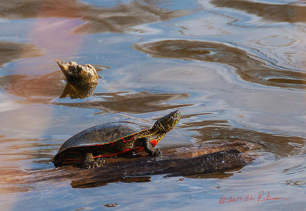 Photograph - 2017 Painted Turtle by Edward Peterson