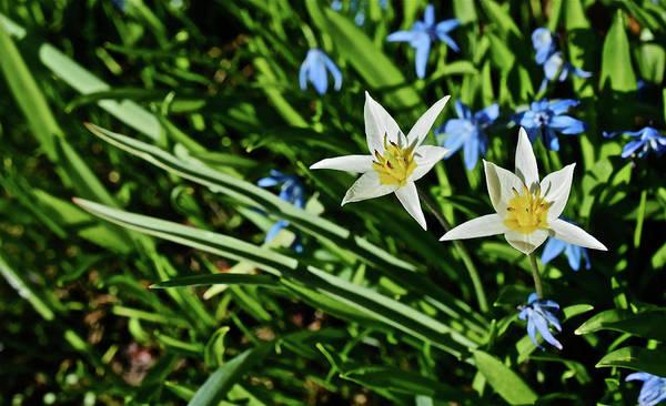 Photograph - 2017 Spring Gardens Meadow Garden Alpine Tulips 1 by Janis Nussbaum Senungetuk