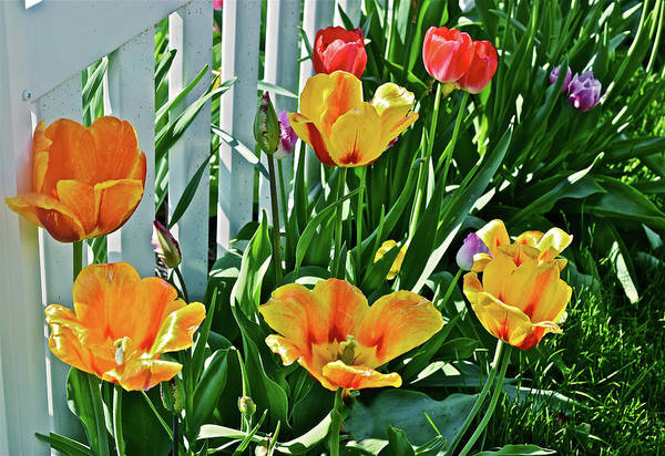 Photograph - 2018 Acewood Tulips Against The White Fence 1 by Janis Nussbaum Senungetuk