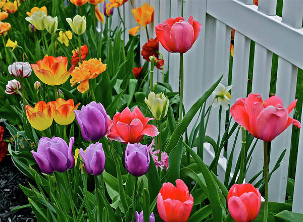 Photograph - 2018 Acewood Tulips Against The White Fence 2 by Janis Nussbaum Senungetuk