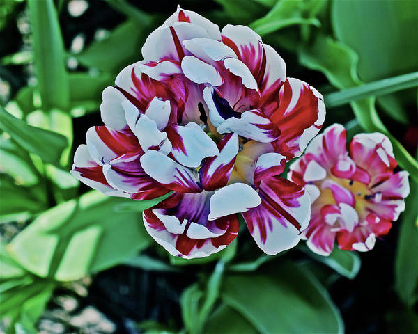 Photograph - 2018 Acewood Tulips Red And White 1 by Janis Nussbaum Senungetuk