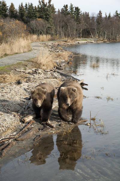 Wall Art - Photograph - Grizzly Bear Ursus Arctos Horribilis by Matthias Breiter