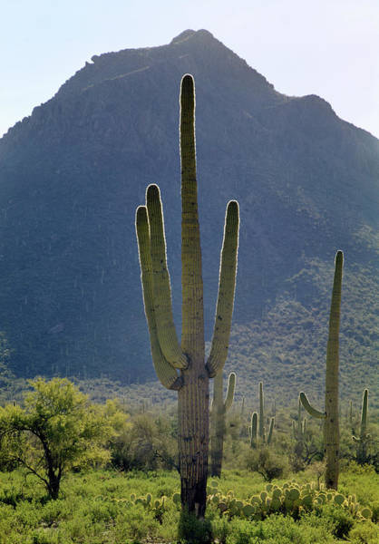 Photograph - 213858 Saguaro Cactus And Peak Az by Ed Cooper Photography