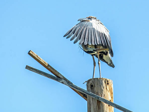 Photograph - Great Blue Heron by Tam Ryan