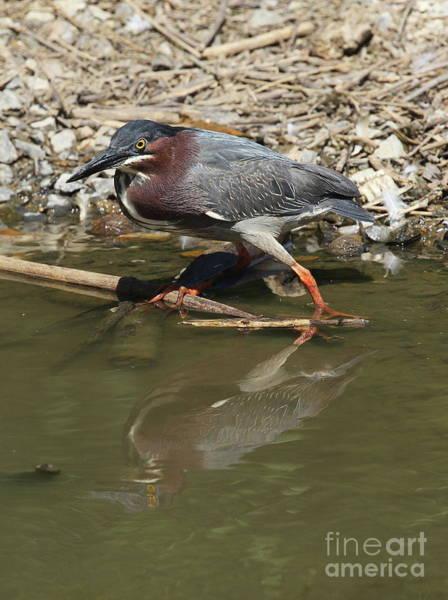 Photograph - Green Heron by Ken Keener