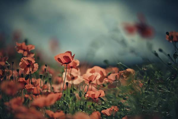 Poppy Meadow Art Print