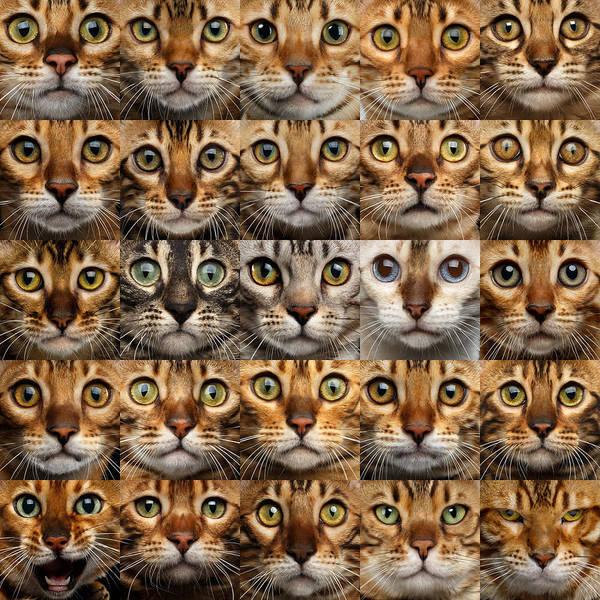 Photograph - 25 Different Bengal Cat Faces by Sergey Taran