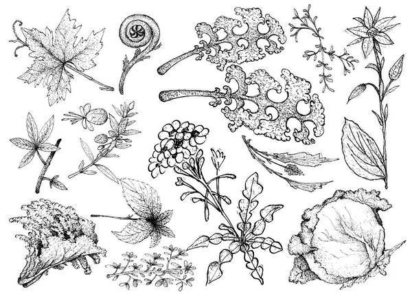 Indian Corn Drawing - Hand Drawn Of Leafy And Salad Vegetable by Iam Nee