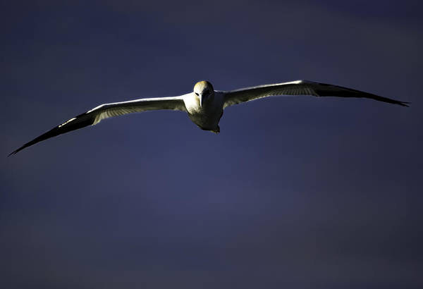 Photograph - Northern Gannet by Pete Federico