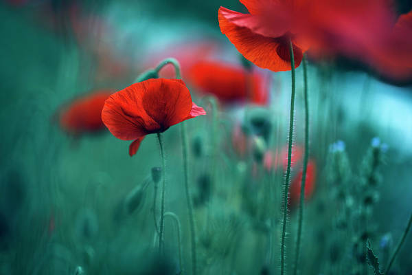 Botanical Gardens Photograph - Poppy Meadow by Nailia Schwarz