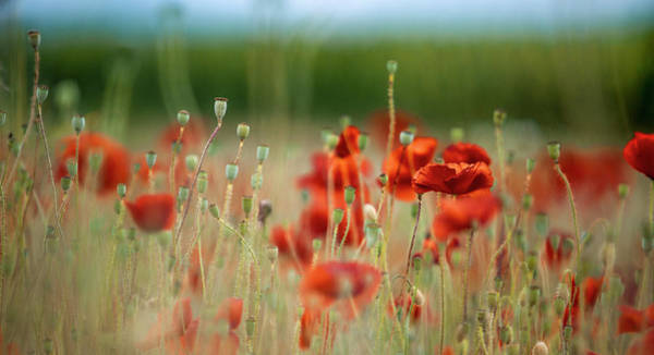 Day Dream Photograph - Summer Poppy Meadow by Nailia Schwarz