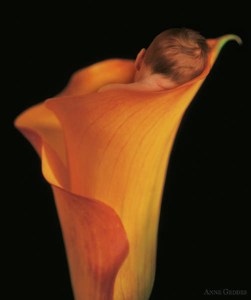 Nursery Photograph - Jacob In A Call Lily by Anne Geddes