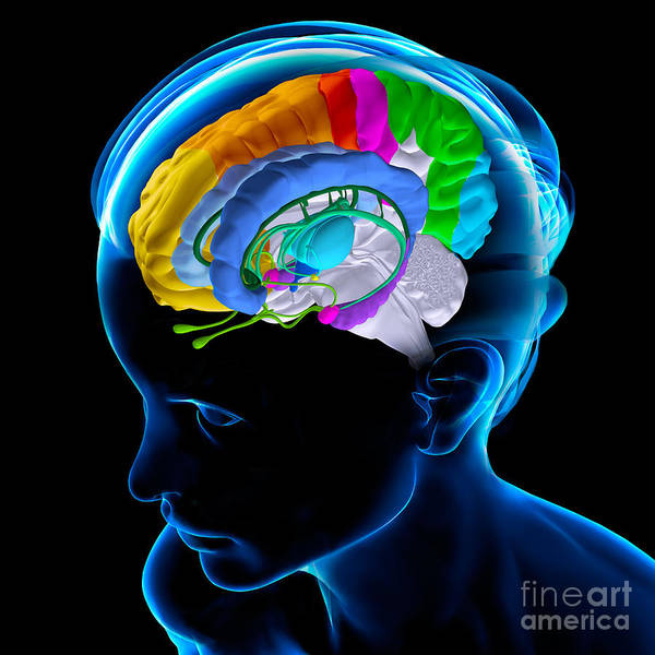 Photograph - Anatomy Of The Brain by Fernando Da Cunha