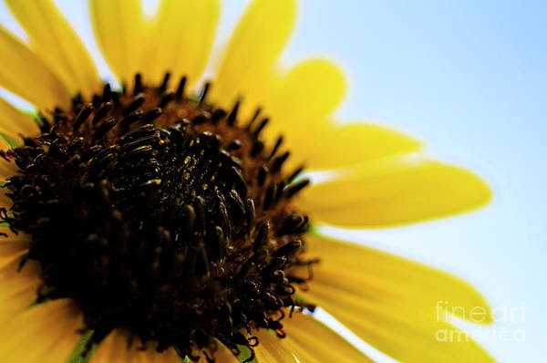 Photograph - Sunflowers by LS Photography