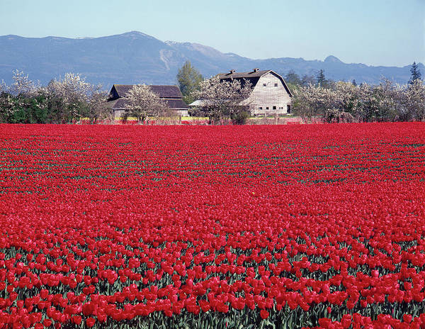 Photograph - 2a4336 Tulip Farm In Washington by Ed Cooper Photography
