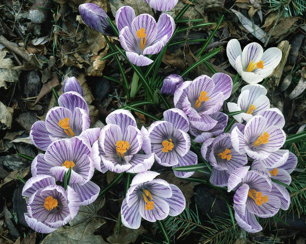 Photograph - 2a4x42 Crocuses In Our Garden by Ed Cooper Photography