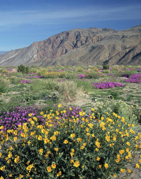 Photograph - 2a6996-v Wildflowers In Anza Borrego Desert State Park by Ed Cooper Photography