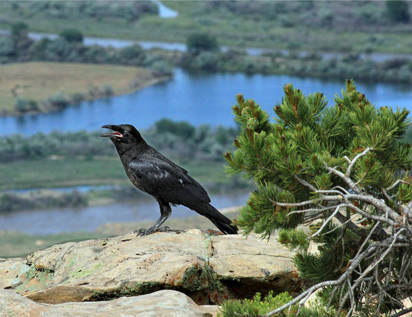 Photograph - 2d10353 American Crow by Ed Cooper Photography