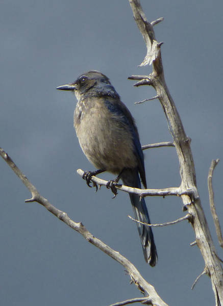 Photograph - 2d10383-dc Brewers Blackbird by Ed Cooper Photography
