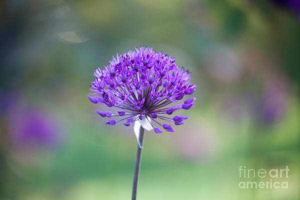 Wall Art - Photograph - Allium by Kati Finell