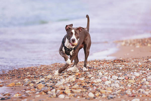 Photograph - American Pitbull Terrier by Peter Lakomy