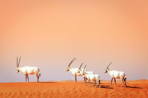 Wall Art - Photograph - Arabian Oryx by Alexey Stiop