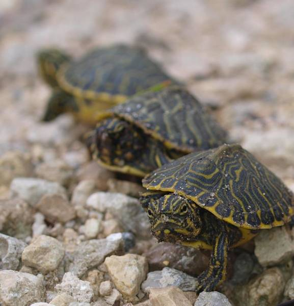 Photograph - 3 Baby Turtles by Tom Claud