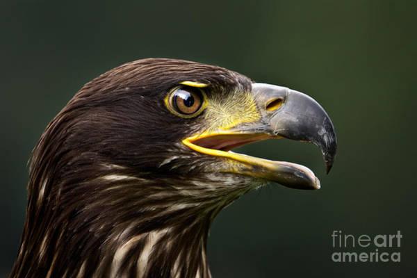 Kopf Photograph - Bald Eagle by Joerg Lingnau