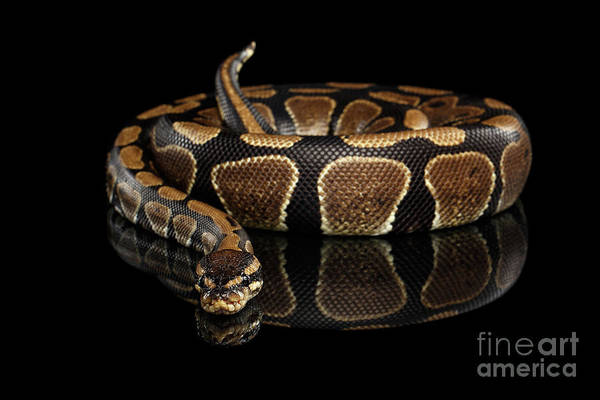 Photograph - Ball Or Royal Python Snake On Isolated Black Background by Sergey Taran