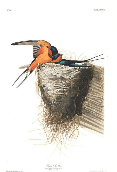 Barn Swallow Wall Art - Painting - Barn Swallow by John James Audubon