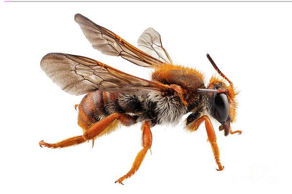 Antenna Painting - Bee Species Anthidium Sticticum Common Name Mason Or Potter Bee  by Pablo Romero