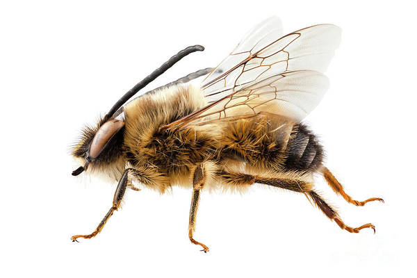 Antenna Painting - Bee Species Eucera Longicornis Common Name Solitary Miner Bee  by Pablo Romero