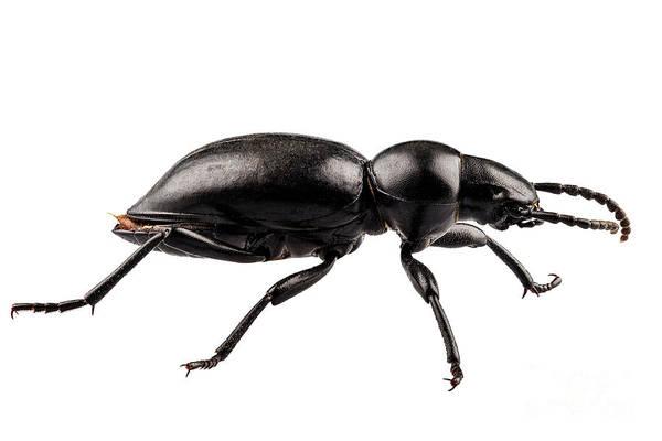 Tenebrionidae Wall Art - Painting - beetle species Tentyria peiroleri  by Pablo Romero
