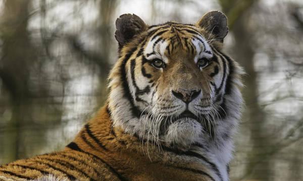 Bengals Photograph - Bengal Tiger by Nigel Jones