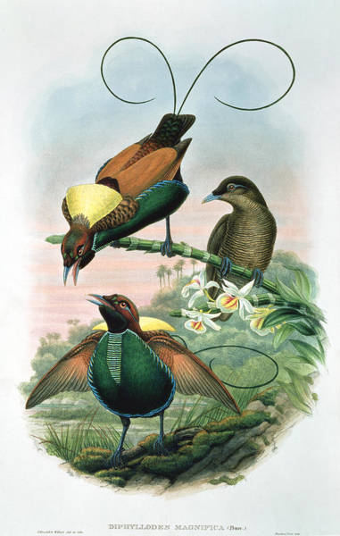 Bird Of Paradise Painting - Bird Of Paradise by John Gould
