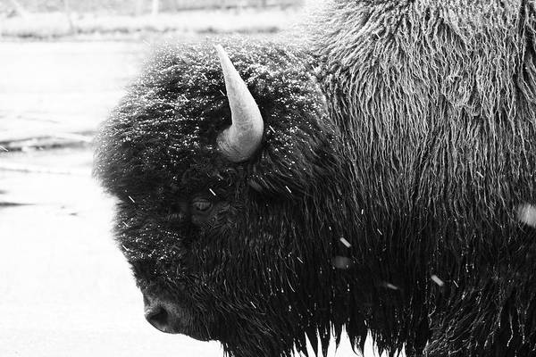 Photograph - Bison In Yellowstone National Park by Pierre Leclerc Photography