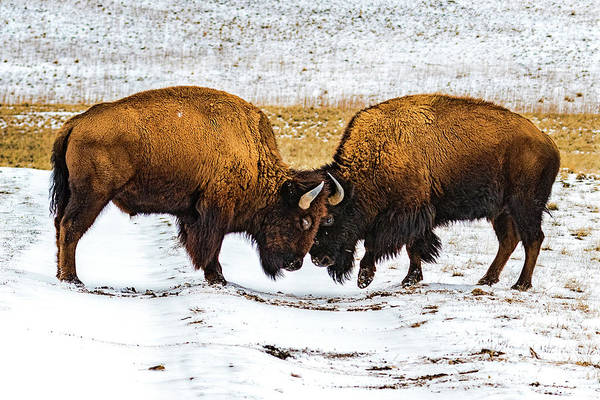 Photograph - Bison by Norman Hall