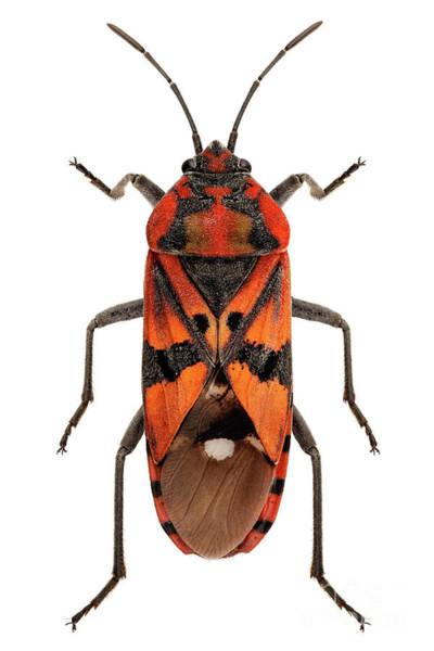 Arthropods Painting - Black And Red Ground Bug Species Spilostethus Pandurus by Pablo Romero