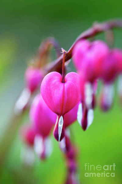 Wall Art - Photograph - Bleeding Heart by Kati Finell