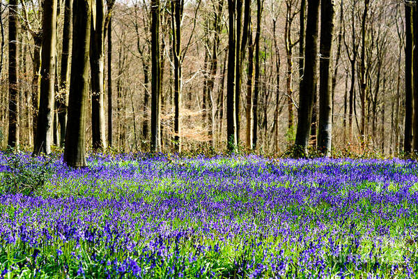 Photograph - Bluebell Woods by Colin Rayner