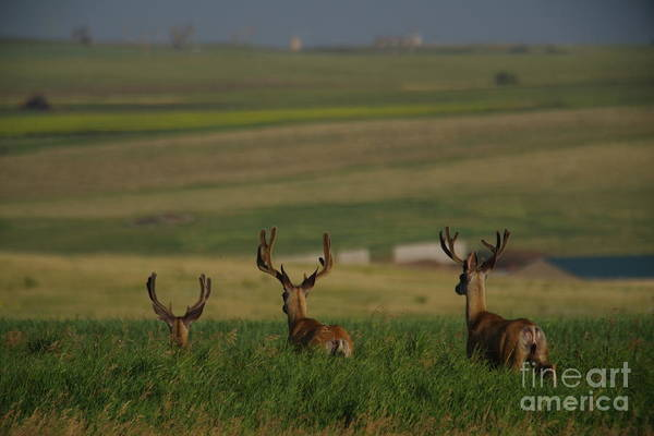 Wall Art - Photograph - 3 Bucks Bounding Away by Jeff Swan