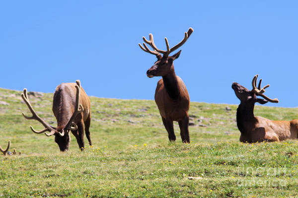 Wall Art - Photograph - 3 Bull Elk On A Summer Day by Jeff Swan