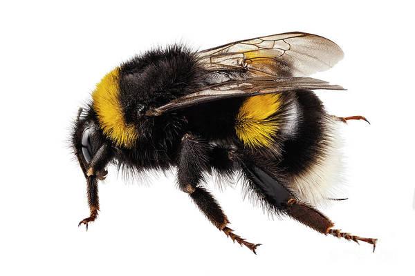 Antenna Painting - Bumblebee Species Bombus Terrestris by Pablo Romero