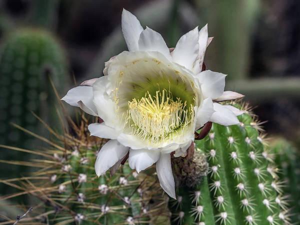 Photograph - Cactus Flower by Tam Ryan