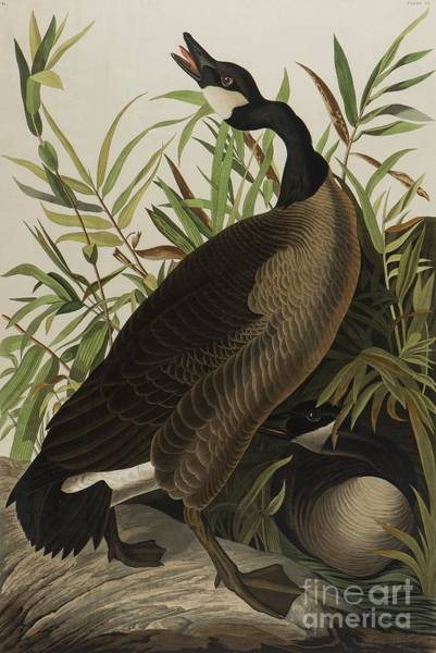 Painting - Canada Goose by John James Audubon