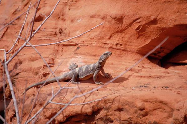 Chuckwalla Photograph - Chuckwalla, Sauromalus Ater by Breck Bartholomew